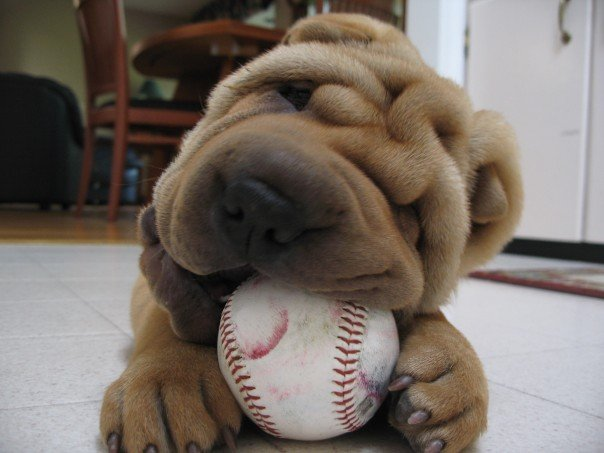 Great Shar Pei Chubby Adorable Dog - puppy55  HD_607293  .jpg